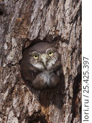 Ferruginous Pygmy-Owl {Glaucidium brasilianum} young looking out of nest hole, Rio Grande Valley, Texas, USA, May. Стоковое фото, фотограф Rolf Nussbaumer / Nature Picture Library / Фотобанк Лори