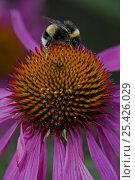 Купить «Bumblebee {Bombus terrestris} gathering pollen and nectar from Purple Coneflower {Echinacea purpurea} UK», фото № 25426029, снято 11 июля 2020 г. (c) Nature Picture Library / Фотобанк Лори