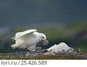 Snowy Owl (Bubo / Nyctea scandiaca), adult male carrying prey to nesting female. Utsjoki, Finland. July. Стоковое фото, фотограф Markus Varesvuo / Nature Picture Library / Фотобанк Лори