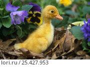 Купить «Duckling (Anatinae) with flowers, Iowa, USA. Captive», фото № 25427953, снято 27 мая 2020 г. (c) Nature Picture Library / Фотобанк Лори