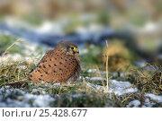 Купить «Common kestrel (Falco tinnunculus) with fluffed up feathers to keep warm, sitting in snow covered field, Belgium (Digitally enhanced)», фото № 25428677, снято 19 февраля 2019 г. (c) Nature Picture Library / Фотобанк Лори