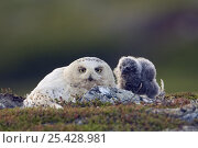 Snowy Owl (Bubo / Nyctea scandiaca), adult female nesting with chick. Utsjoki, Finland. July. Стоковое фото, фотограф Markus Varesvuo / Nature Picture Library / Фотобанк Лори