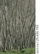 Купить «White poplar trees {Populus alba} growing beside a river, winter, Spain», фото № 25430193, снято 18 сентября 2018 г. (c) Nature Picture Library / Фотобанк Лори