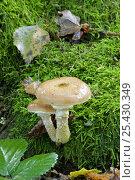 Купить «Honey Fungus (Armillaria mellea) toadstool,  UK», фото № 25430349, снято 22 июля 2018 г. (c) Nature Picture Library / Фотобанк Лори