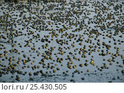 Купить «Epirus water frogs {Rana epeirotica} collecting in large numbers in pond, Greece», фото № 25430505, снято 15 августа 2018 г. (c) Nature Picture Library / Фотобанк Лори