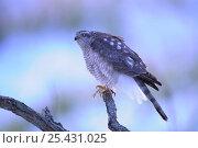 Купить «Sparrowhawk {Accipiter nisus} fluffed up in the cold, Japan, january», фото № 25431025, снято 19 февраля 2019 г. (c) Nature Picture Library / Фотобанк Лори