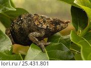 Купить «Short-horned chameleon (Calumma brevicornis) male in rainforest, MADAGASCAR, endemic», фото № 25431801, снято 24 марта 2019 г. (c) Nature Picture Library / Фотобанк Лори