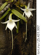 Купить «Comet orchid (Angraecum sesquipedale) Analamazoatra Special Reserve or Perinet. MADAGASCAR, pollinated by a moth with a proboscis of 12 inches {Xanthopan morgani praedicta} endemic», фото № 25431997, снято 20 сентября 2018 г. (c) Nature Picture Library / Фотобанк Лори