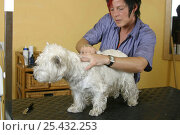 Купить «Woman trimming West Highland White Terrier / Westie», фото № 25432253, снято 26 марта 2019 г. (c) Nature Picture Library / Фотобанк Лори
