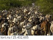 Купить «Kanarej cattle belonging to the Jhalavadi Rabari subgroup found around the Little Rann of Kutch, Gujarat, India 2006», фото № 25432605, снято 22 марта 2019 г. (c) Nature Picture Library / Фотобанк Лори