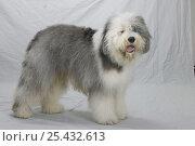 Купить «Domestic dog, Old English Sheepdog / Bobtail studio portrait», фото № 25432613, снято 20 августа 2018 г. (c) Nature Picture Library / Фотобанк Лори