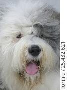 Купить «Domestic dog, close up of Old English Sheepdog / Bobtail», фото № 25432621, снято 20 августа 2018 г. (c) Nature Picture Library / Фотобанк Лори