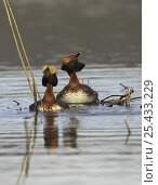 Купить «Horned / Slavonian grebe {Podiceps auritus} pair in courtship display at nest site, Sweden, 2006», фото № 25433229, снято 16 августа 2018 г. (c) Nature Picture Library / Фотобанк Лори