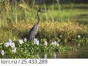 Купить «Humblot's Heron {Ardea humbloti} adult standing amongst water vegetation, Lac Ravelobe, Ankarafantsika National Park, north west Madagascar», фото № 25433289, снято 17 июля 2018 г. (c) Nature Picture Library / Фотобанк Лори