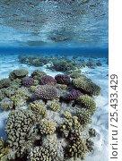 Купить «Coral reef in sandy lagoon. Ras Mohammed, Egypt, Red Sea.», фото № 25433429, снято 17 июля 2018 г. (c) Nature Picture Library / Фотобанк Лори