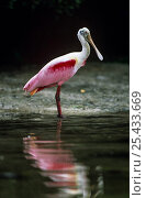 Купить «Roseate spoonbill {Platalea ajaja} Florida, USA», фото № 25433669, снято 22 марта 2019 г. (c) Nature Picture Library / Фотобанк Лори