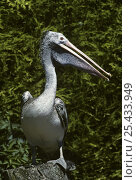 Купить «Spot billed / Grey pelican {Pelecanus philippensis} captive, from Asia», фото № 25433949, снято 17 июня 2019 г. (c) Nature Picture Library / Фотобанк Лори