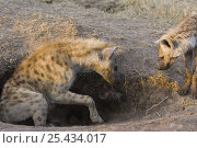Купить «Spotted Hyena {Crocuta crocuta} curious juvenile approaching mother and her 6-week cub, Masai Mara Conservancy, Kenya», фото № 25434017, снято 7 июля 2020 г. (c) Nature Picture Library / Фотобанк Лори