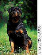 Domestic dog, Rottweiler portrait. Стоковое фото, фотограф Adriano Bacchella / Nature Picture Library / Фотобанк Лори