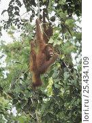 Orangutan {Pongo pygmaeus} feeding in canopy, Tanjung Puting NP, Kalimantan, Borneo, Indonesia. Стоковое фото, фотограф Nature Production / Nature Picture Library / Фотобанк Лори