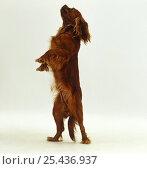 Купить «Ruby Cavalier King Charles Spaniel bitch, standing up on hind legs», фото № 25436937, снято 24 февраля 2019 г. (c) Nature Picture Library / Фотобанк Лори