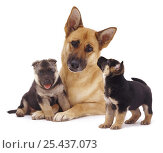 Купить «German Shepherd Dog /  Alsatian bitch lying with her two puppies.», фото № 25437073, снято 22 мая 2018 г. (c) Nature Picture Library / Фотобанк Лори
