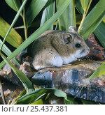 Купить «Chinese Hamster (Cricetulus barabensis) sitting on rock, captive», фото № 25437381, снято 22 мая 2018 г. (c) Nature Picture Library / Фотобанк Лори