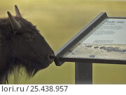 Bison (Bison bison) male, by information board in Hayden Valley, Yellowstone... Стоковое фото, фотограф John Cancalosi / Nature Picture Library / Фотобанк Лори