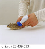 Купить «Spraying a Mongolian Gerbil {Meriones unguiculatus} with non-aerosol flea spray», фото № 25439633, снято 15 октября 2018 г. (c) Nature Picture Library / Фотобанк Лори