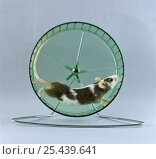 Skewbald Mouse {Mus genus} running in activity wheel. Стоковое фото, фотограф Jane Burton / Nature Picture Library / Фотобанк Лори