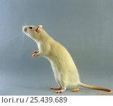 Купить «Albino Rat {Rattus sp} tripoding», фото № 25439689, снято 16 октября 2018 г. (c) Nature Picture Library / Фотобанк Лори