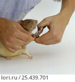 Купить «Clipping the front toe nails of an Agouti-hooded Rat {Rattus sp}, Model released», фото № 25439701, снято 18 августа 2018 г. (c) Nature Picture Library / Фотобанк Лори