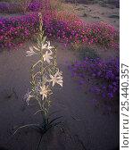 Desert Lilly (Hesperocallis undulata) and Sand Verbena (Abronia villosa) Mohawk Dunes, Barry M. Goldwater Range, Arizona. Стоковое фото, фотограф Jack Dykinga / Nature Picture Library / Фотобанк Лори