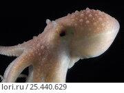 Купить «Arctic Octopus {Bathypolypus arcticus} benthic, Barents sea, Northern Europe», фото № 25440629, снято 15 августа 2018 г. (c) Nature Picture Library / Фотобанк Лори