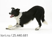 Купить «Border Collie bitch inviting play with a ball by bowing.», фото № 25440681, снято 27 апреля 2018 г. (c) Nature Picture Library / Фотобанк Лори