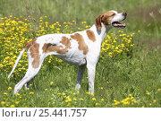 Domestic dog, English Pointer. Стоковое фото, фотограф Petra Wegner / Nature Picture Library / Фотобанк Лори