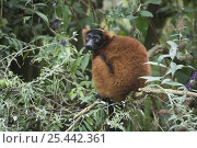 Купить «Red Ruffed Lemur (Varecia variegata rubra) captive, native to Madagascar», фото № 25442361, снято 22 июля 2019 г. (c) Nature Picture Library / Фотобанк Лори