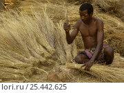 Купить «Sakalva man preparing thatch grass, wearing an amulet or 'ody fitahantena' to protect him from bad spirits. Ankarafantsika Nature Reserve, MADAGASCAR 2005», фото № 25442625, снято 15 декабря 2017 г. (c) Nature Picture Library / Фотобанк Лори