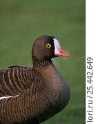 Купить «Lesser White-fronted Goose {Anser erythropus} captive, UK, from north europe», фото № 25442649, снято 4 июля 2020 г. (c) Nature Picture Library / Фотобанк Лори