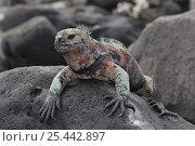Купить «Portrait of Marine Iguana (Amblyrhynchus cristatus) basking on rock, Galapagos Islands, Ecuador, Pacific Ocean», фото № 25442897, снято 22 марта 2019 г. (c) Nature Picture Library / Фотобанк Лори