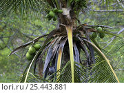 Купить «Coconuts on Coconut palm tree {Cocos nucifera}, Manuel Antonio NP, Costa Rica», фото № 25443881, снято 21 октября 2018 г. (c) Nature Picture Library / Фотобанк Лори