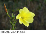 Купить «Large-flowered evening-primrose (Oenothera glazioviana), La Brenne, France», фото № 25444533, снято 23 июля 2018 г. (c) Nature Picture Library / Фотобанк Лори