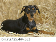 Купить «Domestic dog, German Pinscher puppy, 10 weeks old», фото № 25444553, снято 26 марта 2019 г. (c) Nature Picture Library / Фотобанк Лори