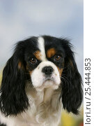 Купить «Domestic dog, Cavalier King Charles Spaniel (tricolor)», фото № 25444853, снято 26 марта 2019 г. (c) Nature Picture Library / Фотобанк Лори