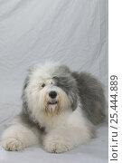 Купить «Domestic dog, Old English Sheepdog / Bobtail studio portrait», фото № 25444889, снято 28 мая 2018 г. (c) Nature Picture Library / Фотобанк Лори