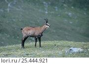 Chamois {Rupicapra rupicapra} juvenile male calling, Austria. Стоковое фото, фотограф Ingo Arndt / Nature Picture Library / Фотобанк Лори