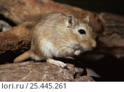 Купить «Mongolian gerbil / jird {Meriones unguiculatus} captive, from Asia, this is the species most commonly kept as pets», фото № 25445261, снято 16 июля 2018 г. (c) Nature Picture Library / Фотобанк Лори