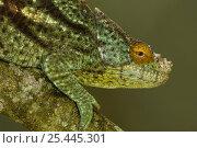Купить «Parson's chameleon (Calumma / Chamaeleo parsonii parsonii) male, eastern rainforests from Ranomafana National Park south to Andohahela. MADAGASCAR, endemic», фото № 25445301, снято 24 марта 2019 г. (c) Nature Picture Library / Фотобанк Лори