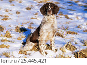 Купить «Domestic dog, English springer spaniel in snow, Wisconsin, USA», фото № 25445421, снято 25 марта 2019 г. (c) Nature Picture Library / Фотобанк Лори