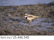 Купить «Black-fronted Dotterel (Charadrius melanops) wading on mudflat, Tasmania, Australia», фото № 25446545, снято 21 ноября 2019 г. (c) Nature Picture Library / Фотобанк Лори